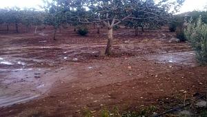 Şanlıurfa'da dolu fıstık ağaçlarını vurdu