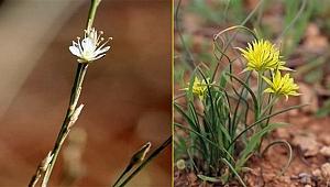 Urfa'da iki yeni bitki dünya literatüründe yer aldı