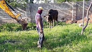 Şanlıurfa'da foseptik çukuruna düşen inek kurtarıldı