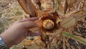 Gaziantep'te mısır hasadı