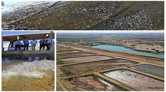 DSİ Şanlıurfa'da 10 Milyon Yavru Balık Üretti