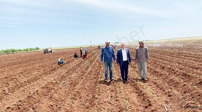 Viranşehirde  ilk olan Adaçayı ekimi yapıldı