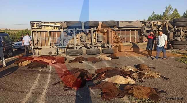 Urfa'da feci olay! 42 tanesi telef oldu
